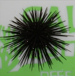Short Spine Black Urchin