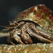 Thin Stripe Hermit