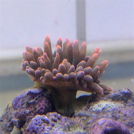 Rose Bubble Tip
