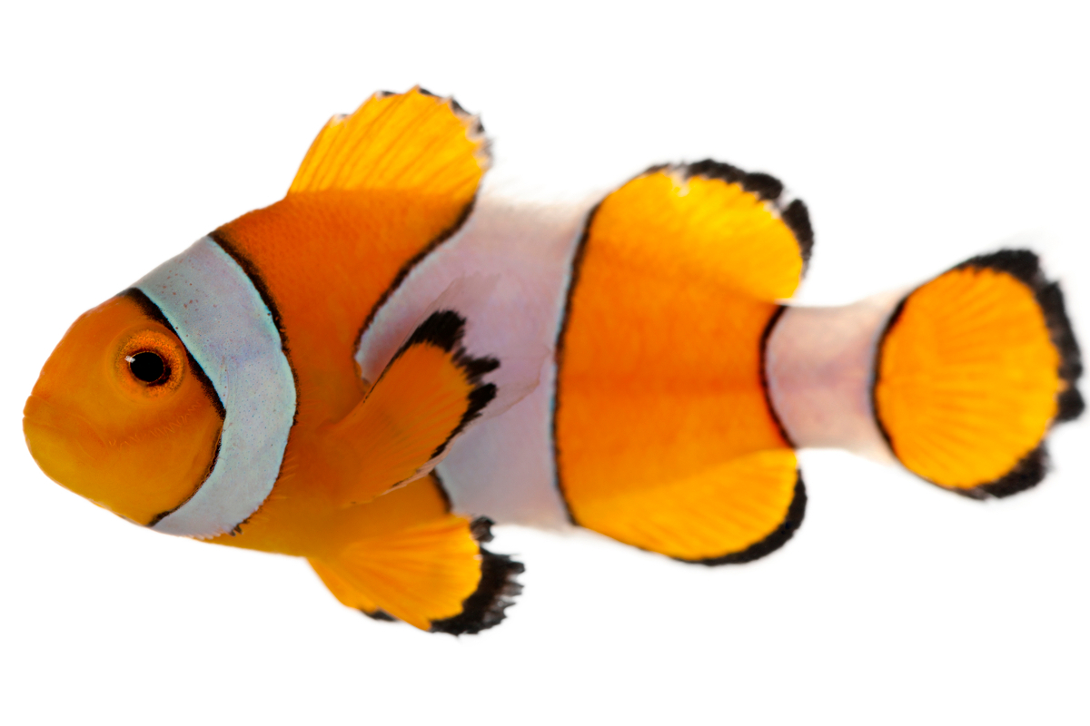 Clownfish, Damsels & Chromis