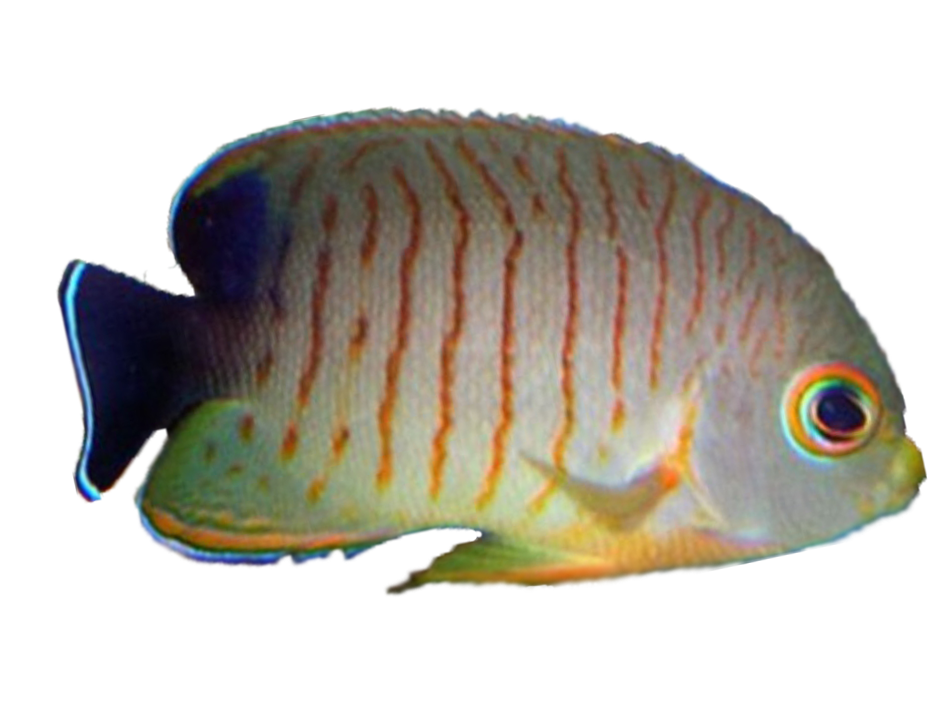 Eibl's Angelfish