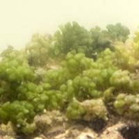Green Grape Algae
