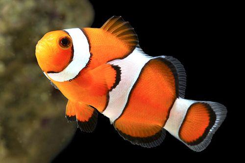 Percula clown for Clown fish price
