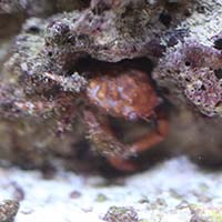Red Ridged Clinging Crab