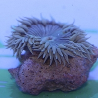 Rock Anemone Common Color