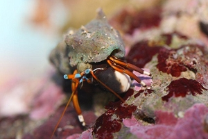 Orange & Black Hermit Crab