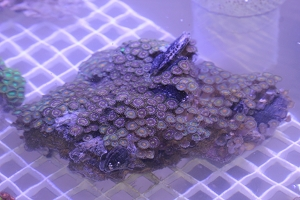 Large Zoanthid Colony