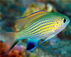 Lyretail Chromis