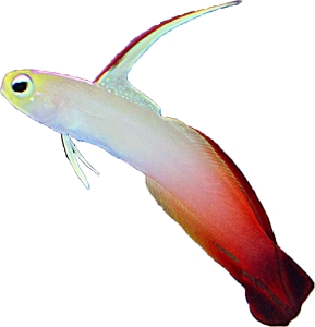 Red Firefish Goby