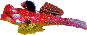 Ruby Red Dragonet