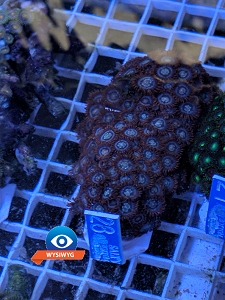 Medium Zoanthid Colony