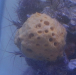 Yellow Ball Sponge