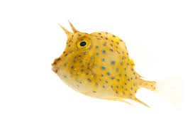 Blue Spotted Cowfish