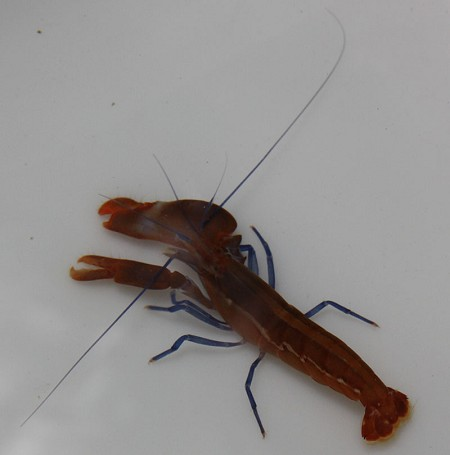 Blue Leg Pistol Shrimp