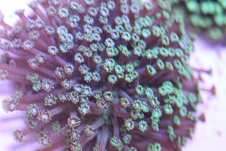 Pot coral goniopora flower pot coral goniopora mightylinksfo Choice Image