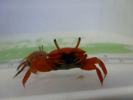 Bright Red Fiddler Crab