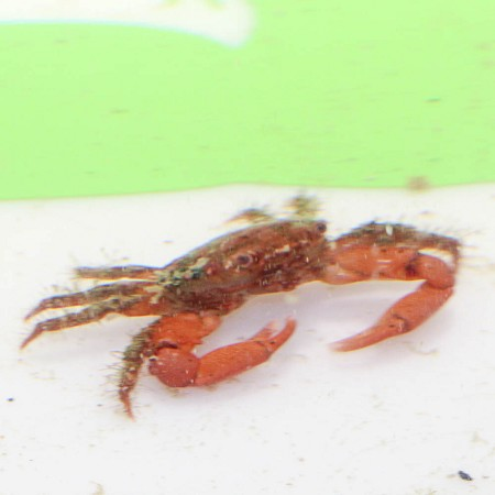 Red Mithrax Crab